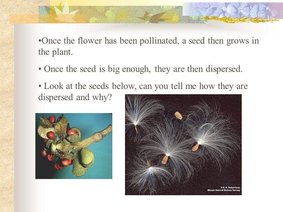 Once the flower has been pollinated, a seed then grows in the plant.