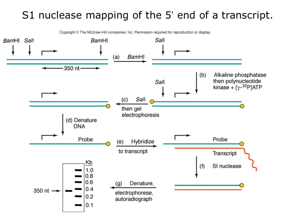 S1 nuclease mapping of the 5' end of a transcript. - ppt ... on