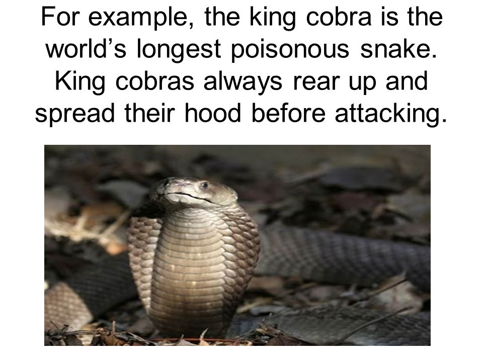 For example, the king cobra is the world's longest poisonous snake