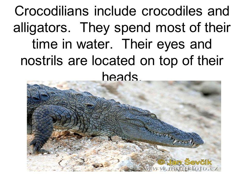 Crocodilians include crocodiles and alligators