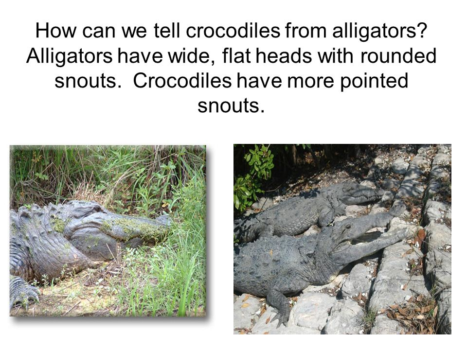 How can we tell crocodiles from alligators