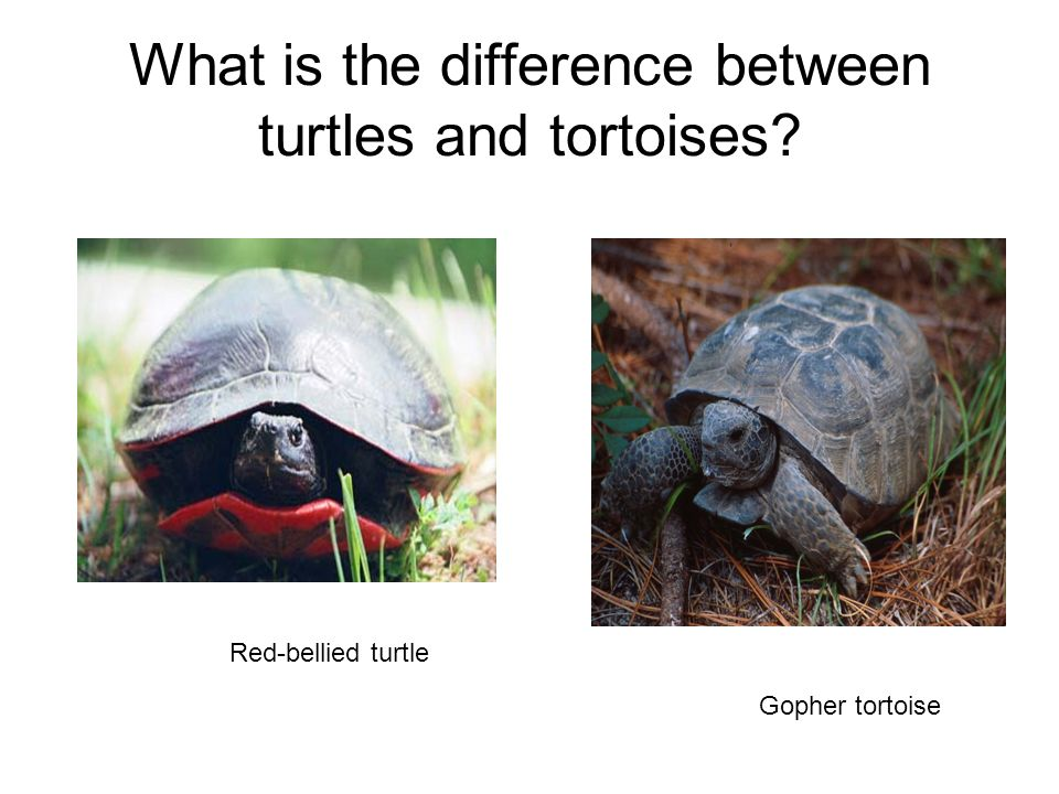 What is the difference between turtles and tortoises
