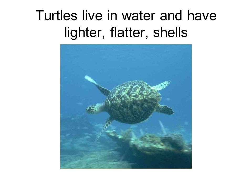Turtles live in water and have lighter, flatter, shells
