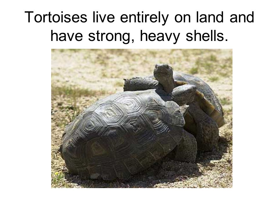Tortoises live entirely on land and have strong, heavy shells.