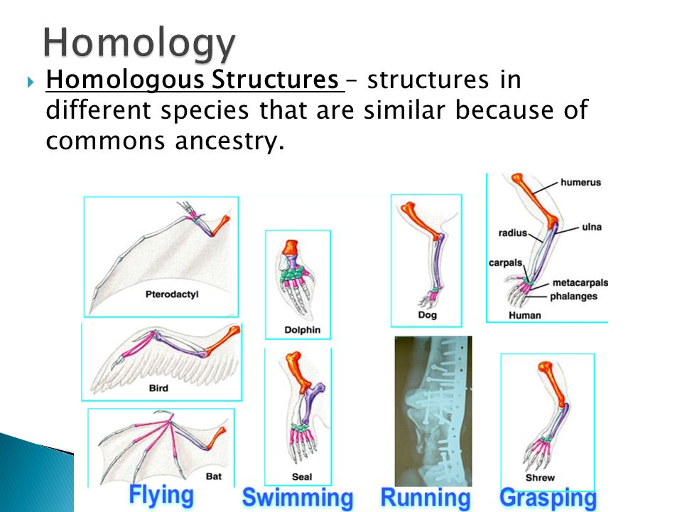 Homology Homologous Structures – structures in different species that are similar because of commons ancestry.