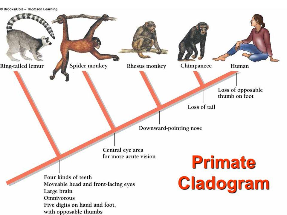 Primate Cladogram