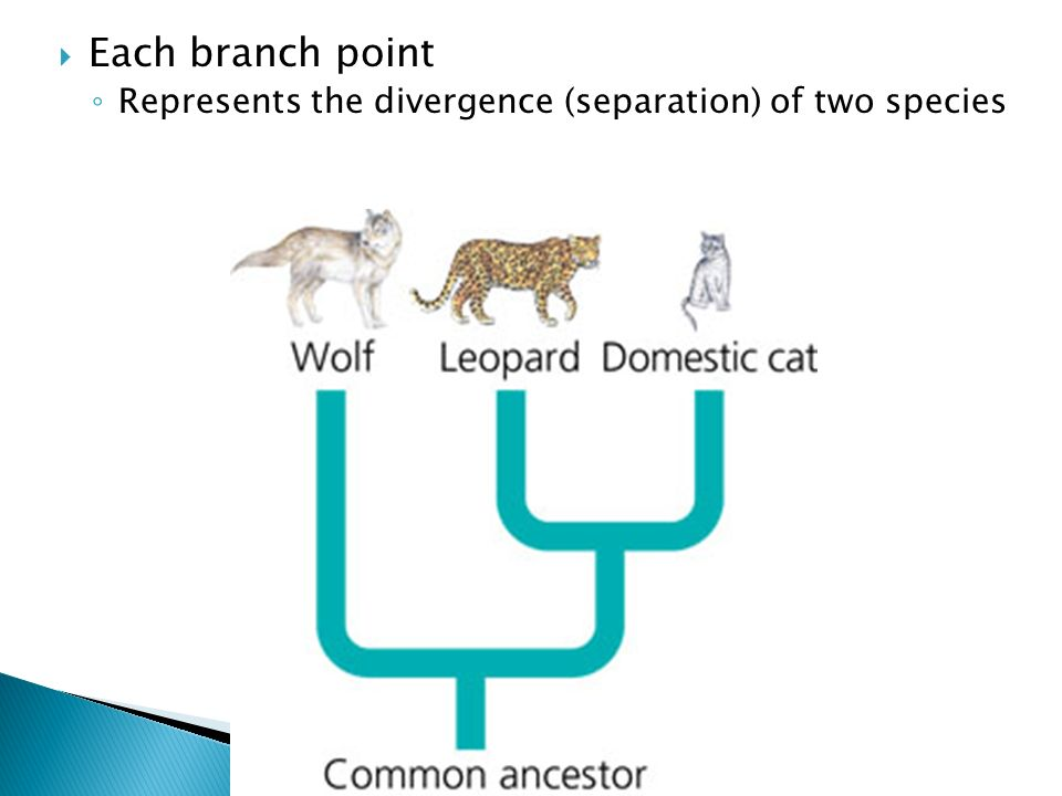 Each branch point Represents the divergence (separation) of two species
