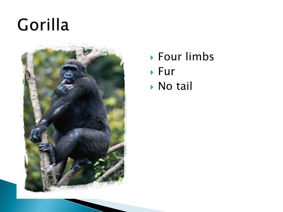 Gorilla Four limbs Fur No tail