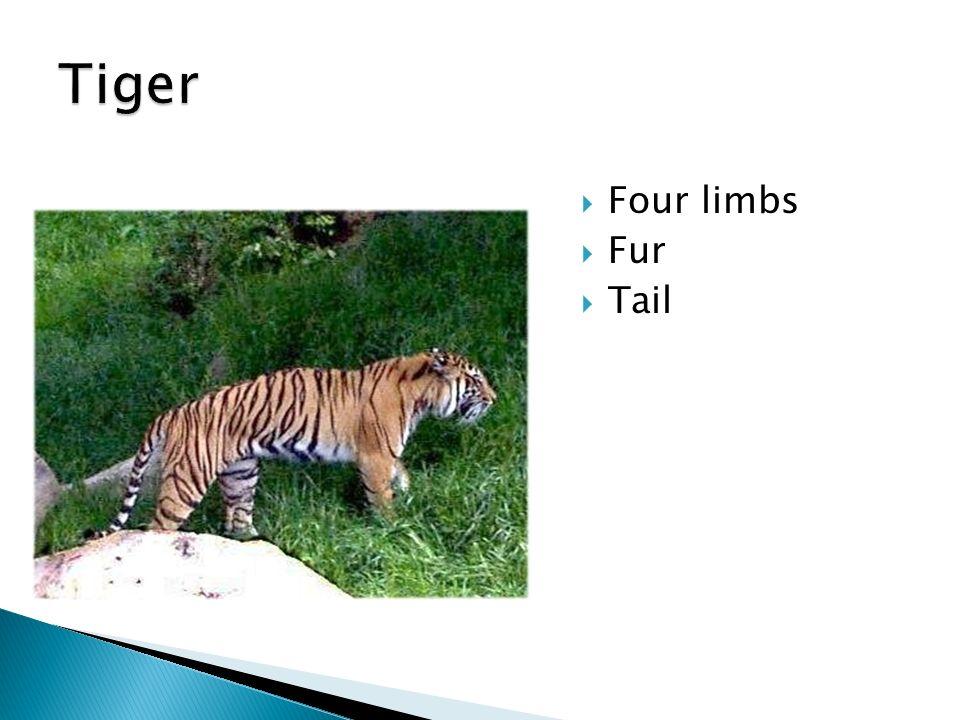 Tiger Four limbs Fur Tail