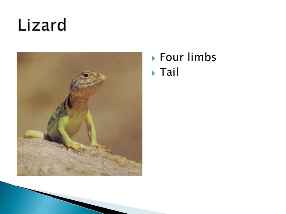 Lizard Four limbs Tail