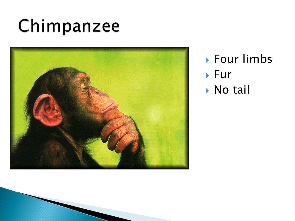 Chimpanzee Four limbs Fur No tail