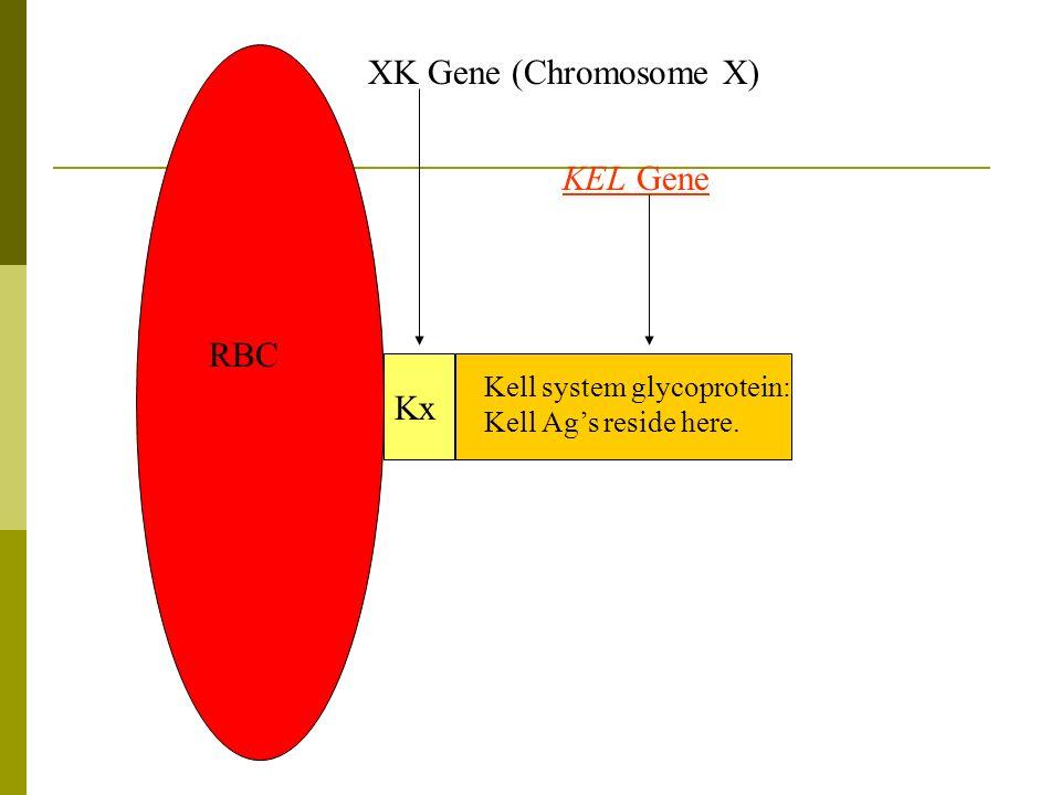 XK Gene (Chromosome X) KEL Gene RBC Kx