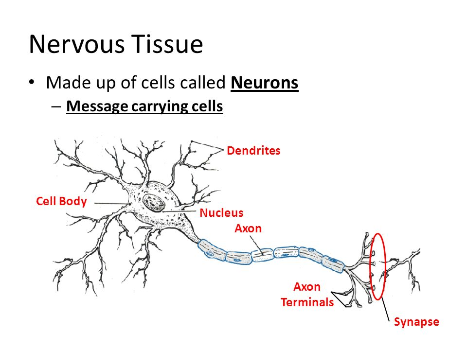 Nervous Tissue Made up of cells called Neurons Message carrying cells