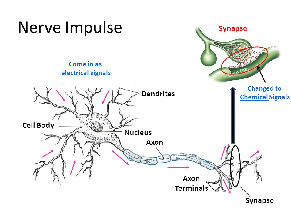 Nerve Impulse Synapse Dendrites Cell Body Nucleus Axon Axon Terminals