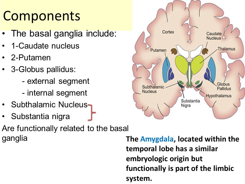 Basal Ganglia. - ppt video online download