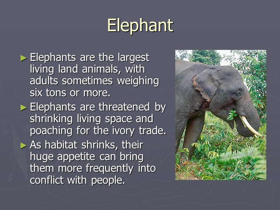 Elephant Elephants are the largest living land animals, with adults sometimes weighing six tons or more.
