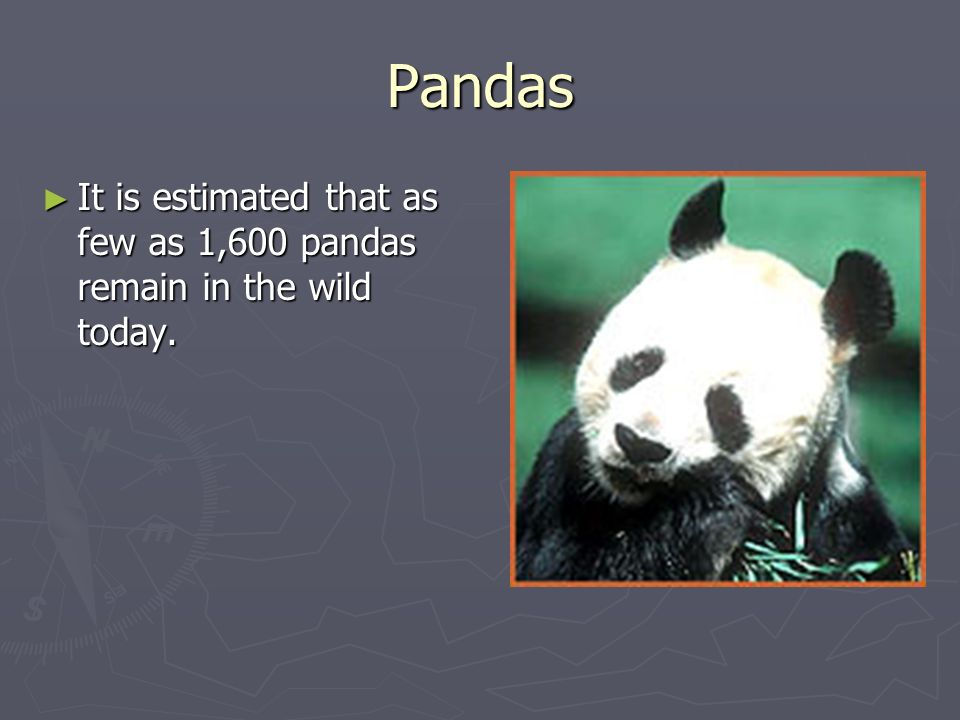 Pandas It is estimated that as few as 1,600 pandas remain in the wild today.