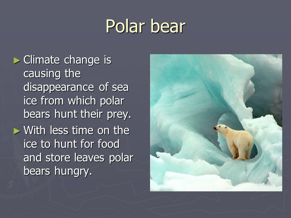 Polar bearClimate change is causing the disappearance of sea ice from which polar bears hunt their prey.
