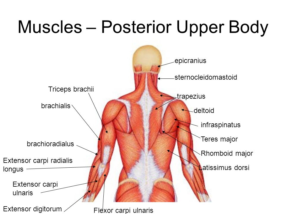 Muscles Posterior Upper Body