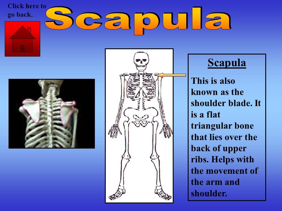 Click here to go back. Scapula. Scapula.