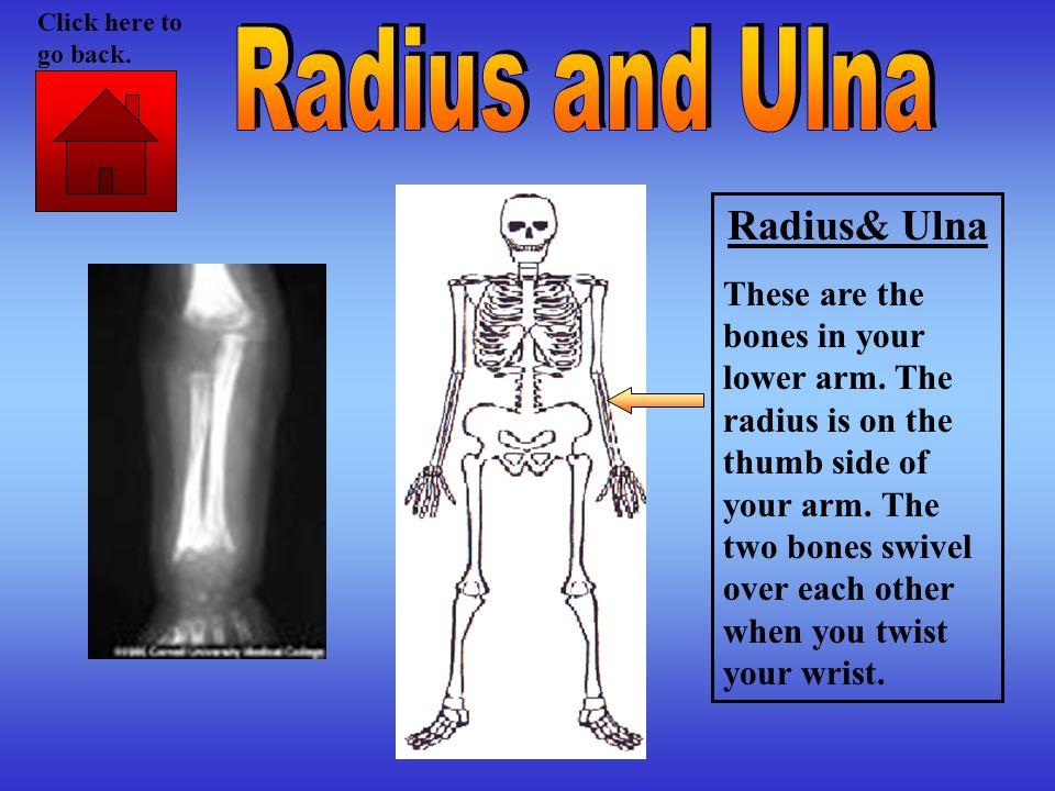 Radius and Ulna Radius& Ulna