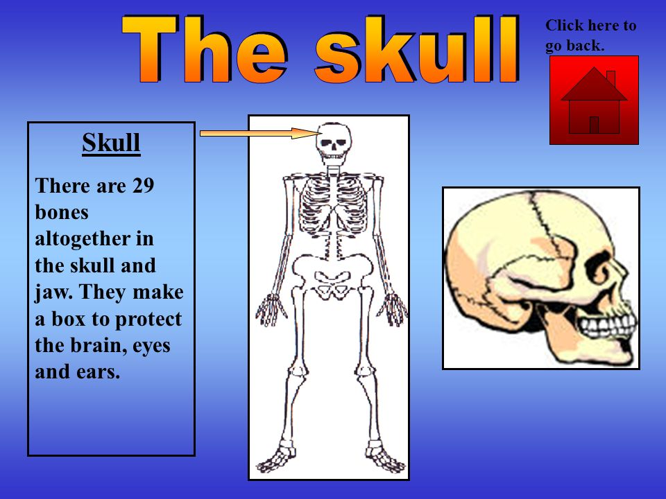Click here to go back. The skull. Skull. There are 29 bones altogether in the skull and jaw.