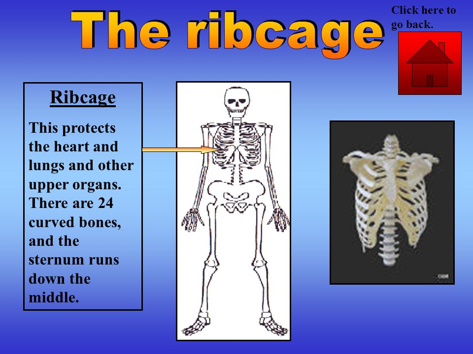 Click here to go back. The ribcage. Ribcage.