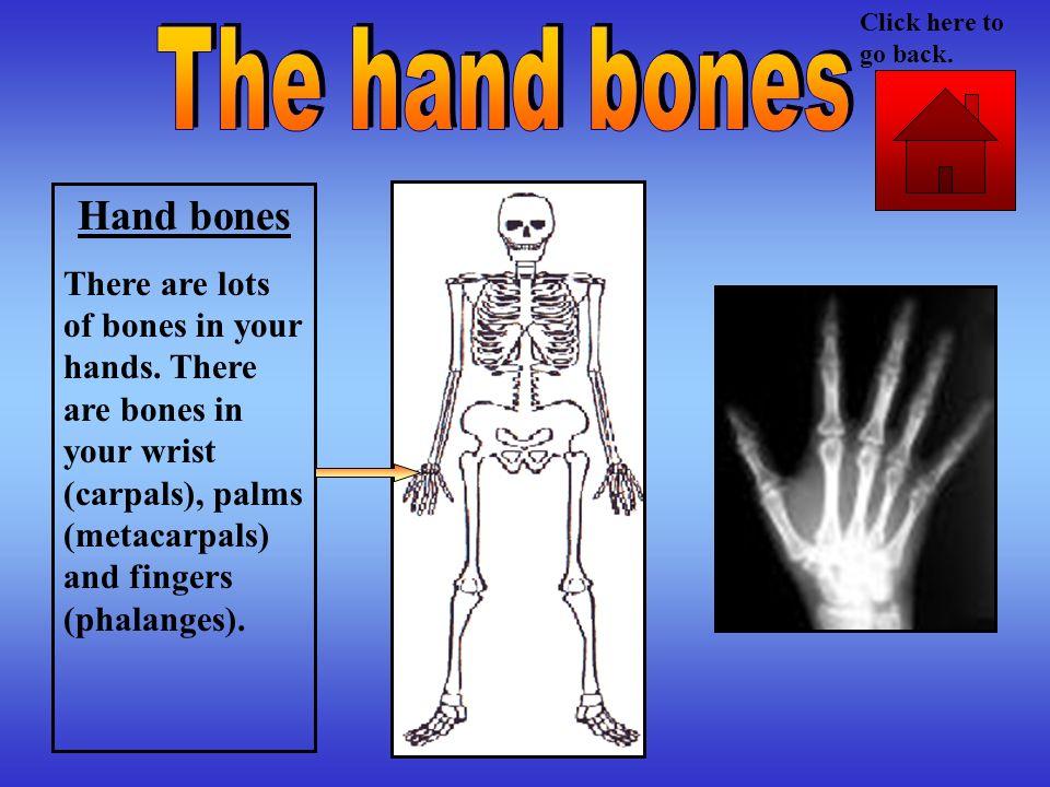 The hand bones Hand bones