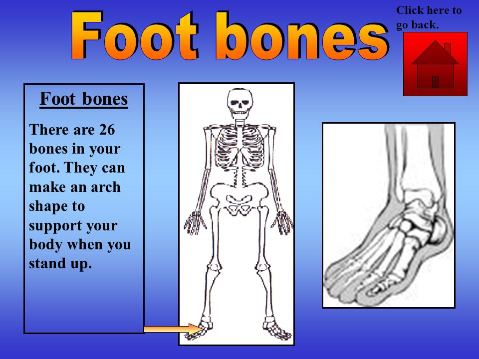 Click here to go back. Foot bones. Foot bones. There are 26 bones in your foot.