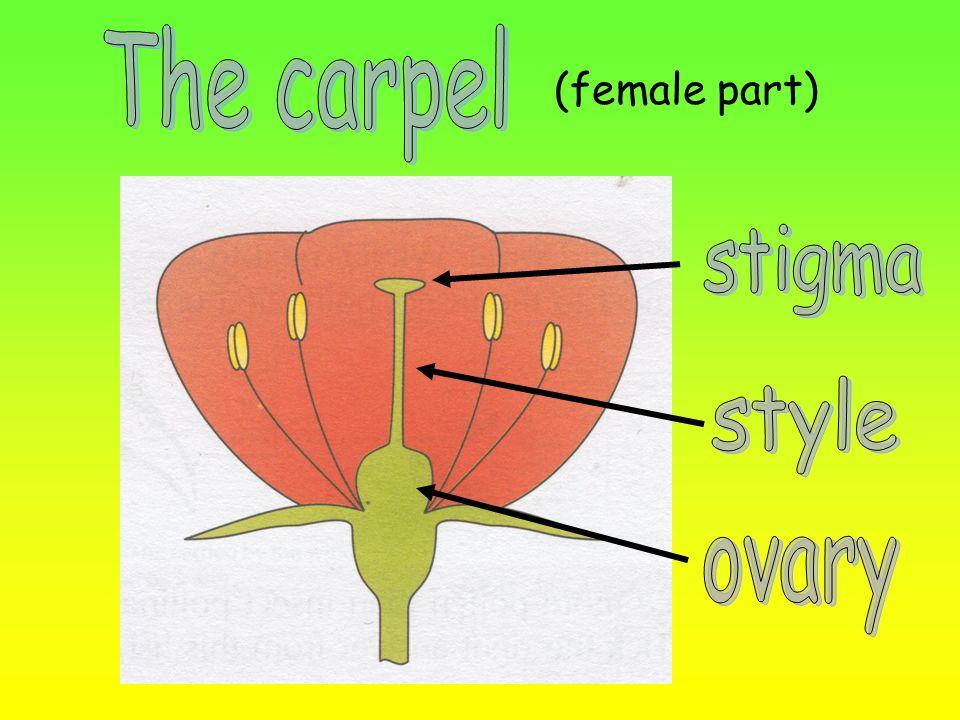 The carpel (female part) stigma style ovary