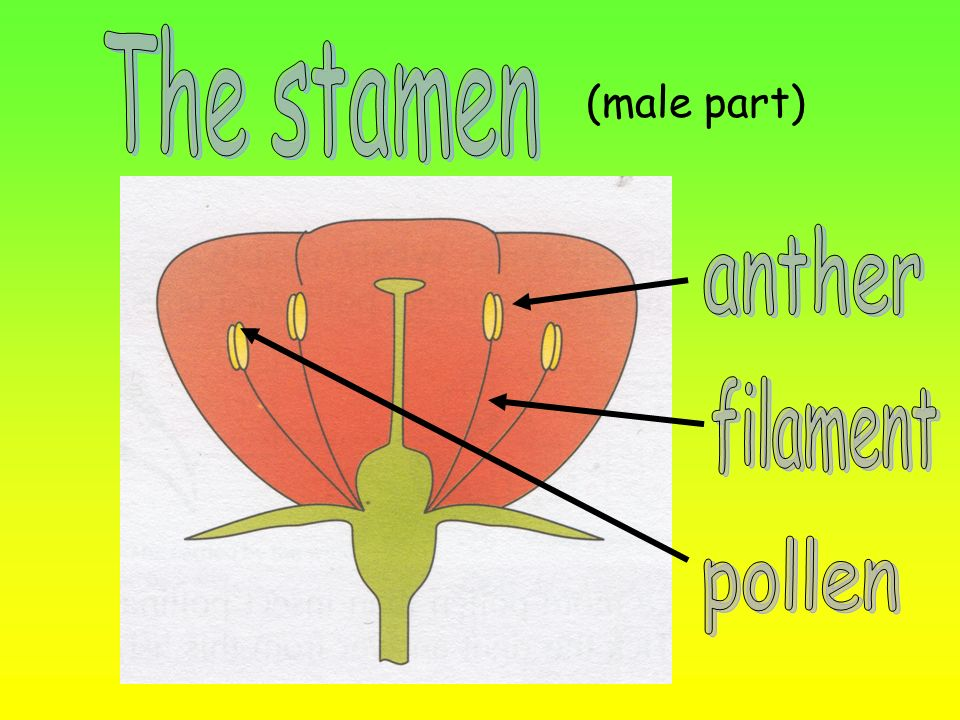 The stamen (male part) anther filament pollen