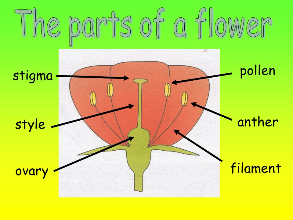The parts of a flower pollen stigma anther style filament ovary