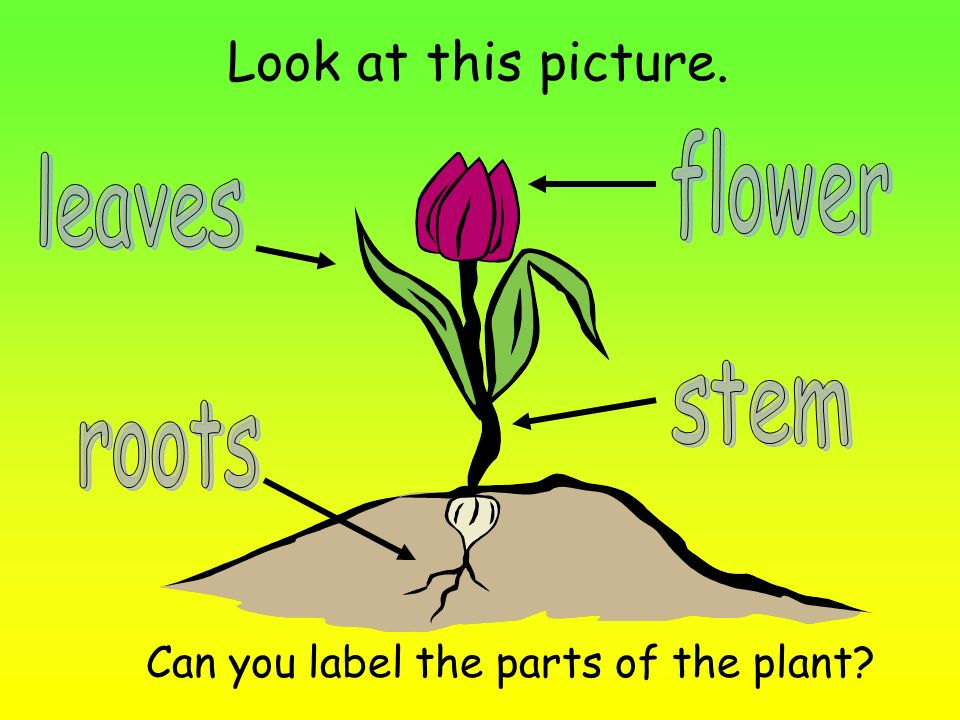 Look at this picture. flower leaves stem roots