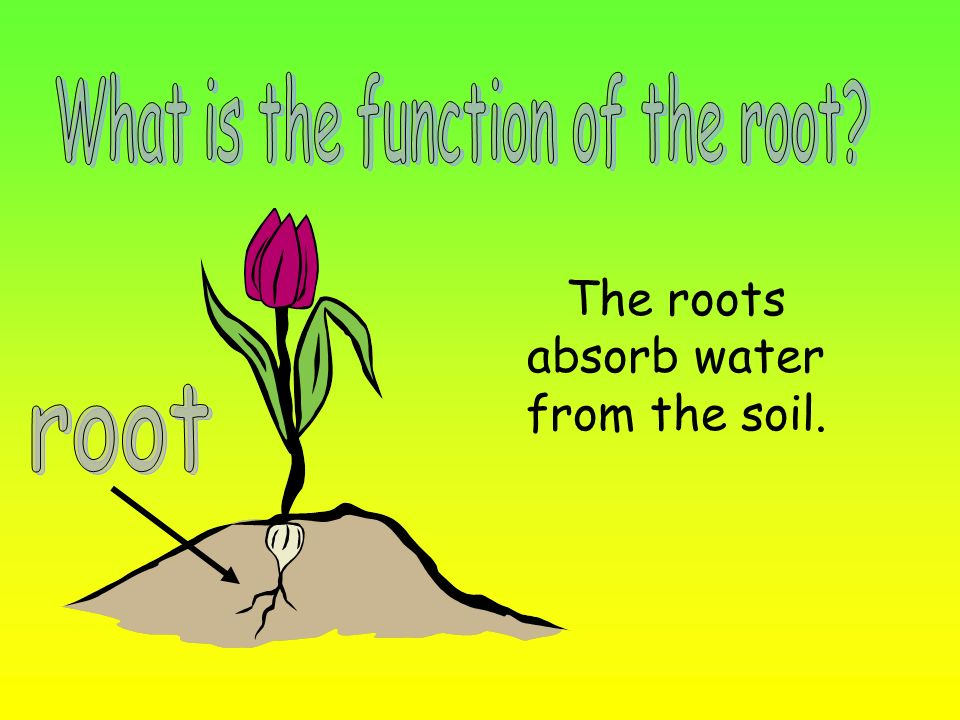 What is the function of the root