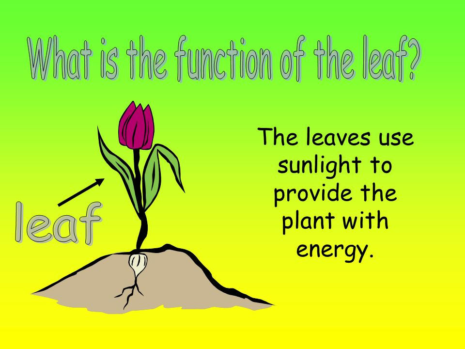 What is the function of the leaf