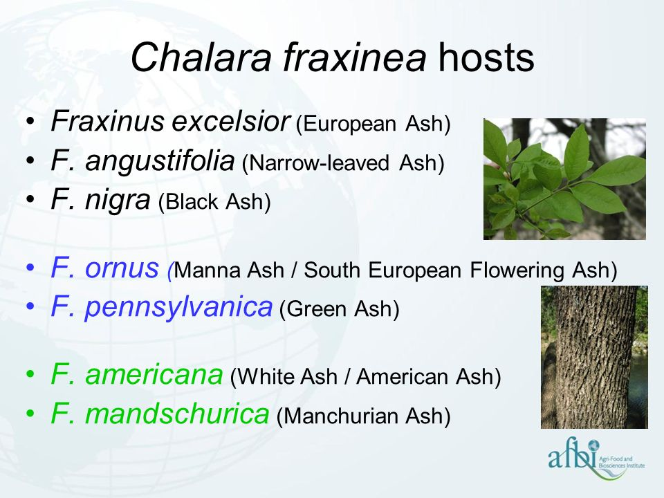 Chalara fraxinea hosts