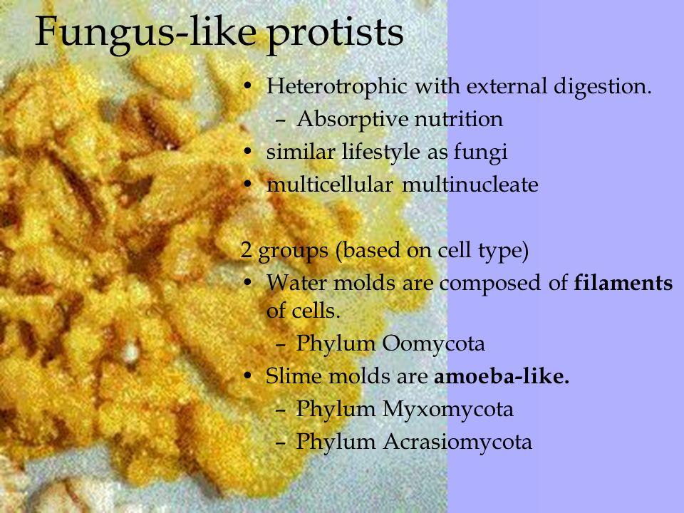 fungus like protists Ecology home like others are absorptive and fungus like certain protists are.