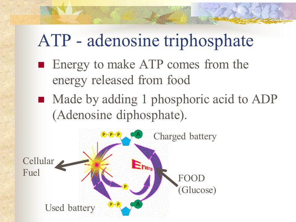 the importance of adenosine triphosphate to the organism Adenosine triphosphate - topic:biology - online encyclopedia a molecule that stores energy and releases it to power chemical reactions in organisms energy from its breakdown drives many important cellular reactions adventitious presence of genetically modified (gm) material in non-gm.