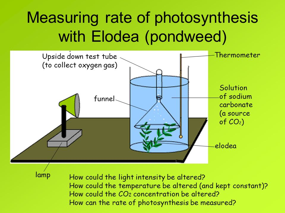 an experiment to measure rate of photosynthesis with varying light intensity Experiment place a pond weed this is the rate of photosynthesis at that particular light intensity as the light intensity increases, the rate of.