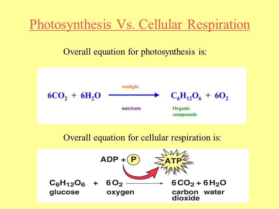 cellular respiration vs photosynthesis essay Cellular respiration and photosynthesis cellular respiration and photosynthesis form a critical cycle of energy and matter that supports the plagiarism free papers.