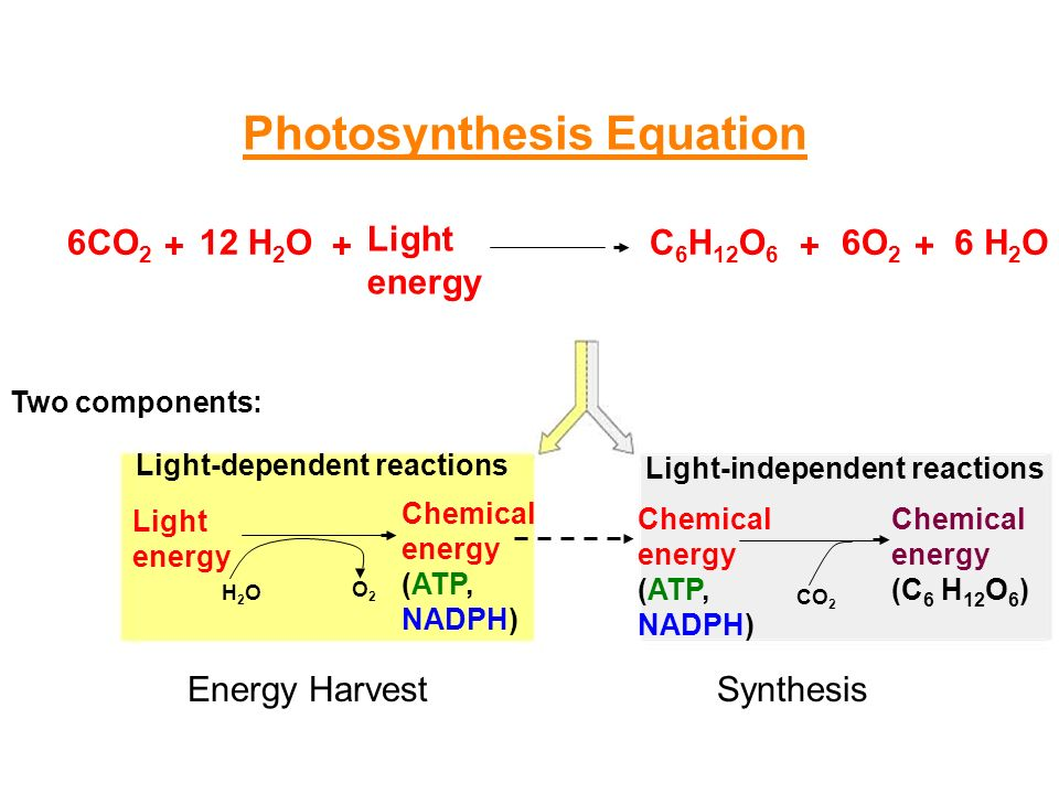 What are the three stages of photosynthesis?