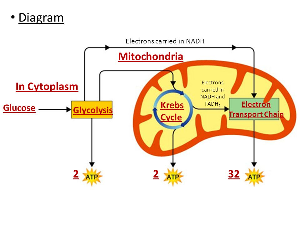 cyclic electron transport photsynthesis Describe cyclic photophosphorylation of photosynthesis  atp synthesis in the light reactions the electron transport chains are arranged with the.