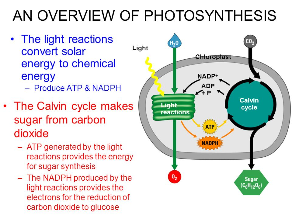 an overview of photosynthesis and chloroplast 72 photosynthesis occurs in chloroplasts in plant cells  75 overview: the two stages of photosynthesis are linked by atp and nadph the second stage is the calvin cycle, which occurs in the stroma of the chloroplast – it is a cyclic series of reactions that builds sugar.