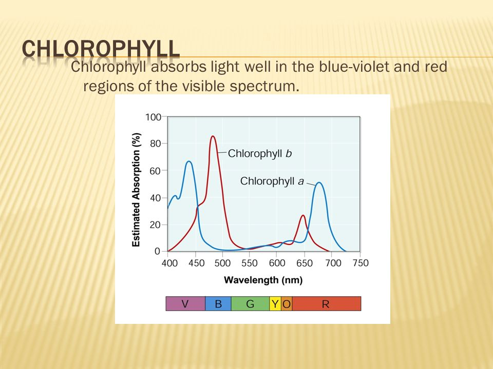 chlorophyll Chlorophyll absorbs light well in the blue-violet and red regions of the visible spectrum.