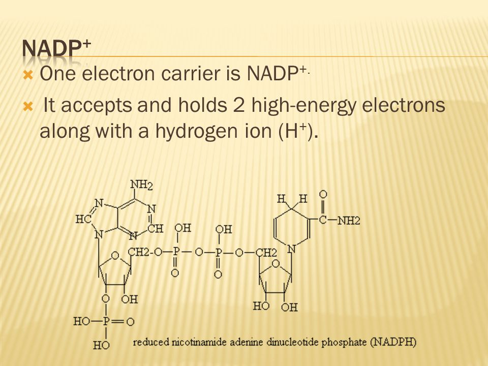 NADP+ One electron carrier is NADP+.