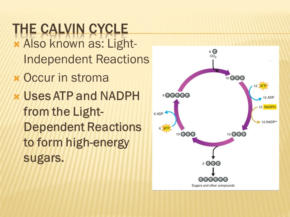 The calvin cycle Also known as: Light-Independent Reactions