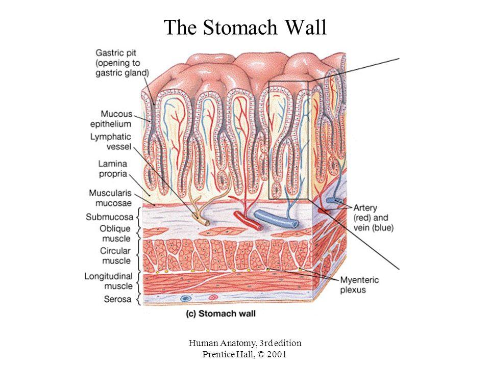 Stomach lining anatomy