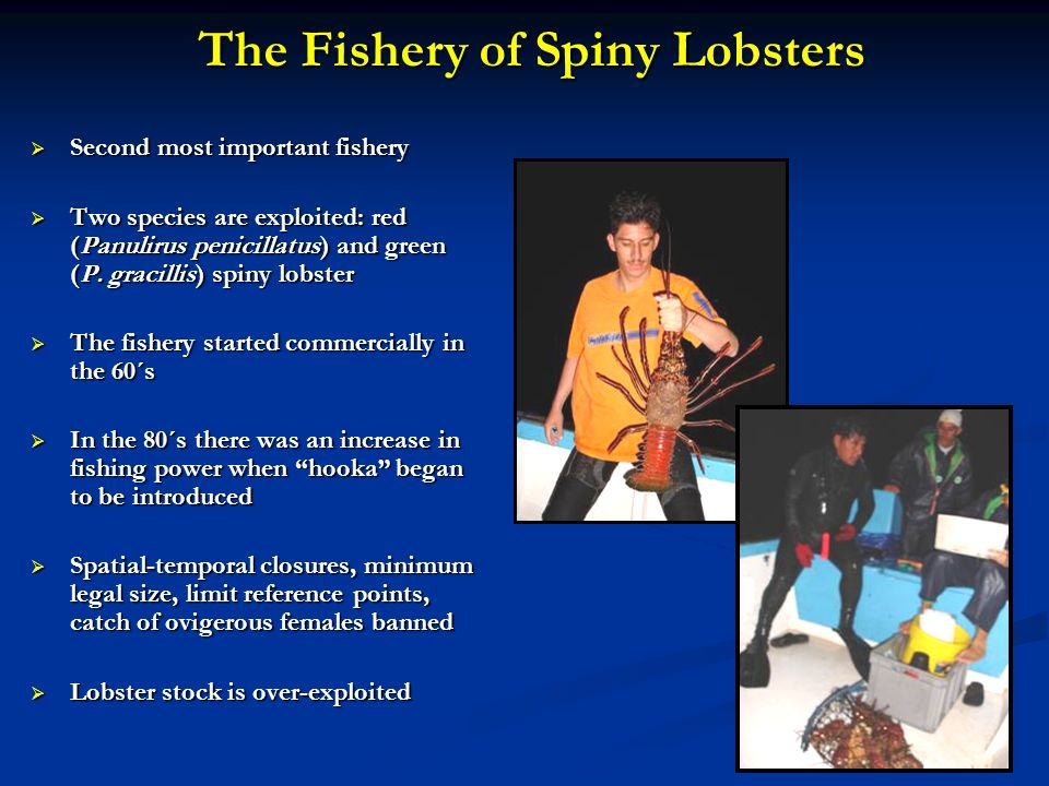 The Fishery of Spiny Lobsters