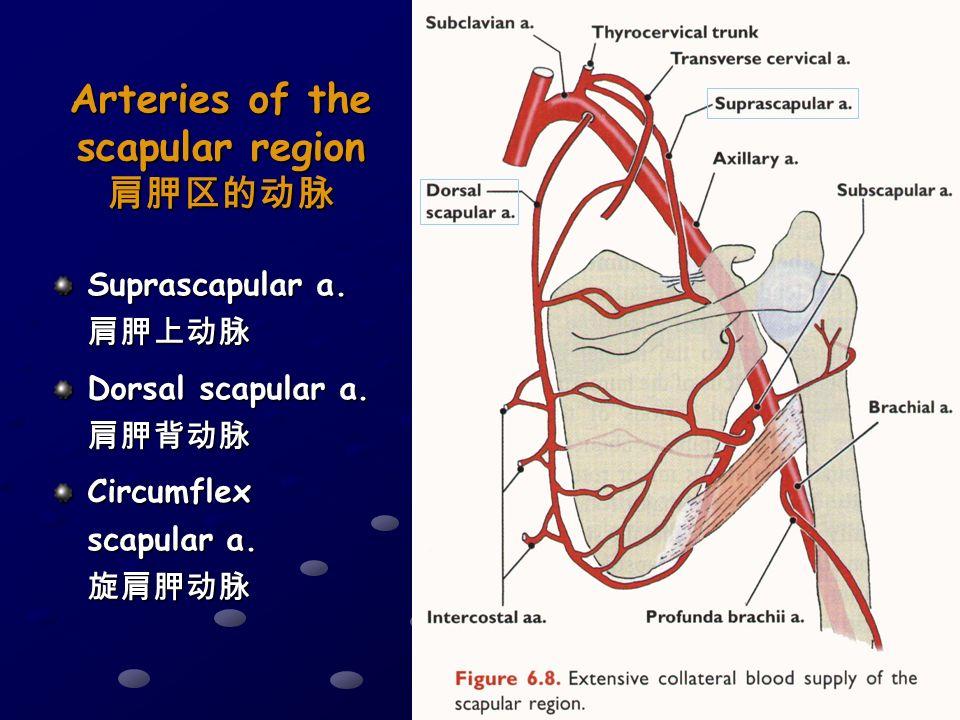 posterior region of upper limb ppt video online download