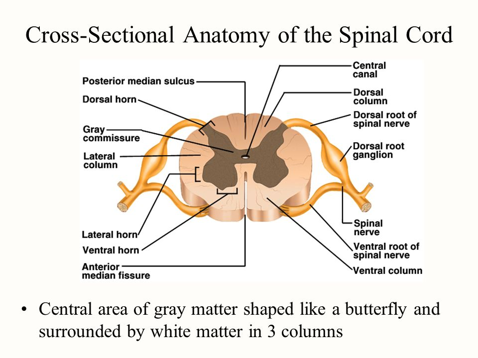 Describe the cross sectional anatomy of spinal cord